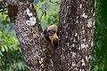 Martes flavigula, Yellow-throated marten (mating) - Kaeng Krachan National Park (37746120414).jpg