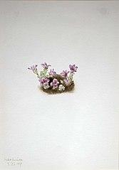 Purple Saxifrage (Saxifrage oppositifolia)