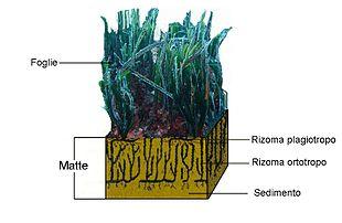 Disegno schematico di una matte di P. oceanica