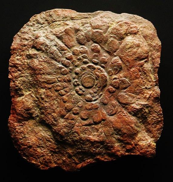 File:Mawsonites spriggi 546.jpg
