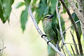 Megalaima faiostricta, Green-eared barbet - Kaeng Krachan National Park (24834024764).jpg