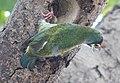 Megalaima haemacephala (Coppersmith Barbet) (3105713147).jpg