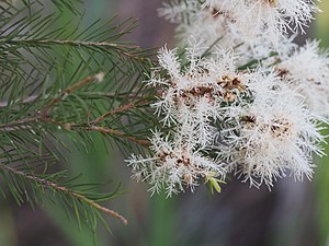 Melaleuca alternifolia - Melaleuca alternifolia growing near Casino