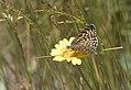 Melitaea cinxia, Sivas 2017-07-02 01-3.jpg
