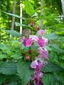 Melittis melissophyllum flowers Linnerberg2.JPG