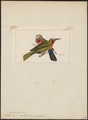 Melittophagus bullockioides - 1820-1863 - Print - Iconographia Zoologica - Special Collections University of Amsterdam - UBA01 IZ16800355.tif