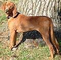 Memphis the Redbone Coonhound (7 Nov 2004).jpg