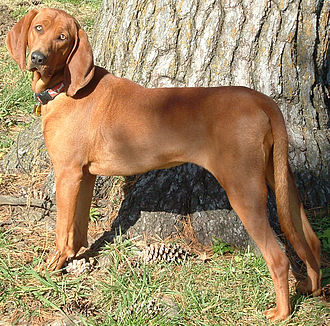 Redbone Coonhound - The Redbone Coonhound was bred as a hunting dog.