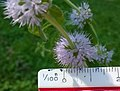 Mentha pulegium - flowers 02 + ruler.jpg