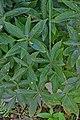 Mercurialis perennis in Jardin botanique de la Charme.jpg