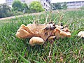 Meripilus giganteus 61693731.jpg