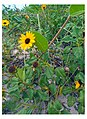 Miami Beach - South Beach Sand Dune Flora - Helianthus debilis Dune Sunflower (28).jpg