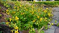 Mimulus guttatus - a native annual plant in cultivation.jpg