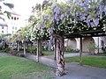 Mission Santa Clara gardens wisteria 5.jpg