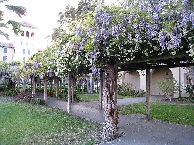 file mission santa clara gardens wisteria. Black Bedroom Furniture Sets. Home Design Ideas