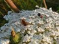 Mohrenblüte der Wilde Möhre.JPG