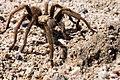 Mojave Tarantula.jpg