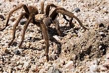 Tarantula Wikipedia