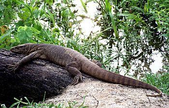 Monitor Lizard Sun bathing.jpg