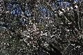 Monk Parakeet - Myiopsitta monachus - panoramio (1).jpg