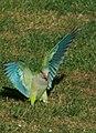 Monk parakeet landing No.2.JPG