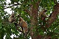 Monkey species.jpg