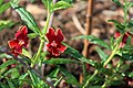 Monkeyflower is one of many native plant species students have planted (16357400356).jpg