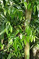 Monodora myristica-Jardin botanique Meise (3).jpg