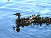 حديقة حيوانات المركز الدولى  - صفحة 4 220px-Mother_and_baby_ducks