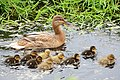 Mother duck takes care of her 9 babies at Limmen - panoramio.jpg