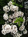 Mountain Laurel in Bloom.jpg