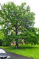 Mozartův dub Drahovice.jpg