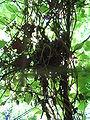 Muscardinus avellanarius nest.JPG