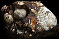 Mussels Pliocene rock with limonite - Peninsula Kerch, Ukraine..jpg