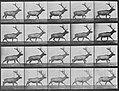 Muybridge, Eadweard - Trottender Elch (0.32 Sekunden) (Zeno Fotografie).jpg