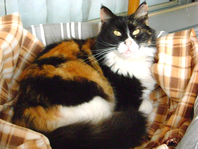 Cat Breed Associated With Upper Respratory Disease In Kittens