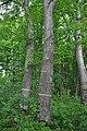 Mykulyntsi-buky-n3-4-15056861.jpg