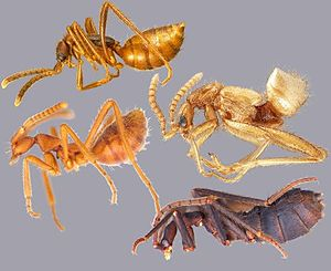 Myrmecophily in Staphylinidae - Myrmecoids Labidopullus ashei, Beyeria vespa, Pseudomimeciton sp., and Ecitophya bicolor