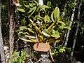 Myrmecophila tibicinis (Jami Dwyer) 001.jpg