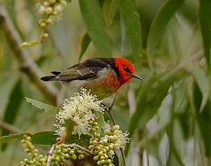 Scarlet myzomela - Adult male foraging at Melaleuca flowers in Queensland