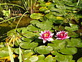 Nénuphars roses Jardin public Marennes.JPG