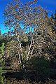 N20151119-0005—Platanus racemosa—RPBG (23233412836).jpg