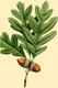 NAS-001g Quercus alba.png
