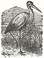 NSRW Stork.jpg