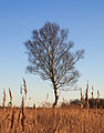 Nationaal Park Weerribben-Wieden. Eenzame berk tegen vrieslucht 01.jpg