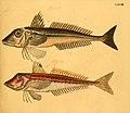Naturgeschichte in Bildern mit erläuterndem Text (Taf. LXVIII) (6059215600).jpg