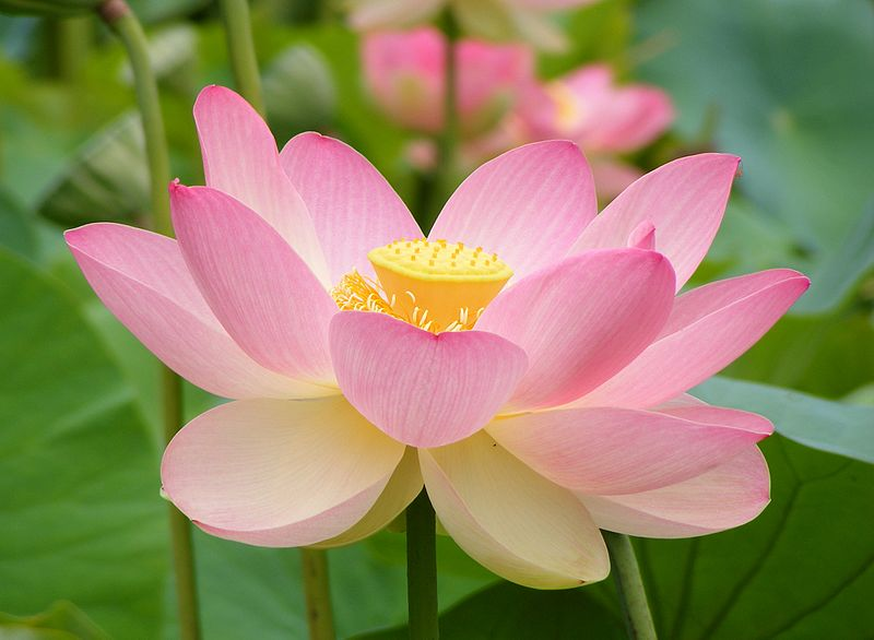 An open lotus flower. It has soft pink petals and its exposed seed pod is bright yellow.