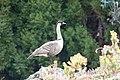 Nene or Hawaiian Goose Hakalau NWR HI 2018-12-02 12-52-14 (31223372667).jpg