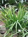 Neomarica caerulea - Palmengarten Frankfurt - DSC01704.JPG