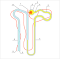 Nephron ADH.png